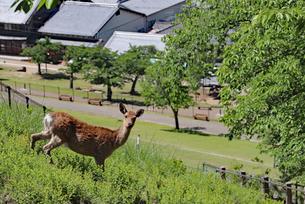 若草山で暮らす野生の鹿の写真素材 [FYI02996887]