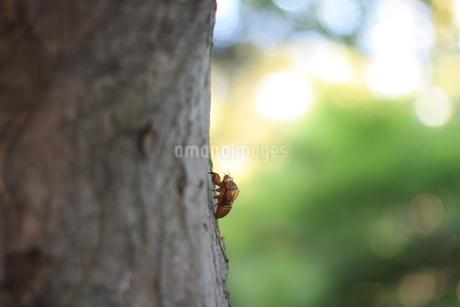 セミの抜け殻の写真素材 [FYI02996901]