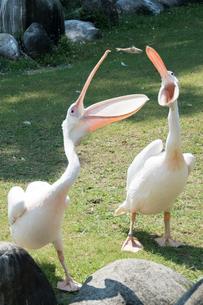 ペリカンの餌やり 大きく口をあけたペリカンの写真素材 [FYI02997137]