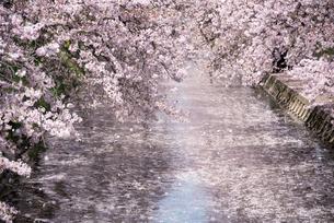 舞い散る桜と 満開の桜と 花筏の写真素材 [FYI02997159]