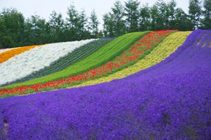 ファーム富田 彩りの畑の写真素材 [FYI02997177]