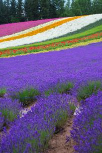 ファーム富田 彩りの畑の写真素材 [FYI02997179]