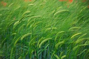 ファーム富田 ビール大麦の写真素材 [FYI02997192]