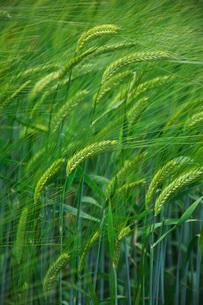 ファーム富田 ビール大麦の写真素材 [FYI02997193]
