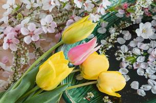 チュウリップとサクラの花の写真素材 [FYI02997442]