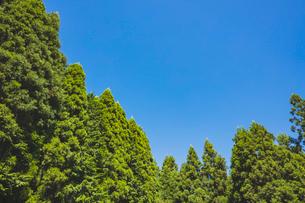 スギ林と青空の写真素材 [FYI02997483]