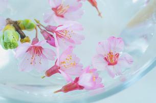 ガラス器と桜の花の写真素材 [FYI02997494]