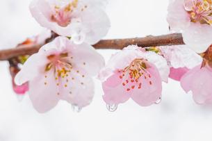 雪を被った桃の花の写真素材 [FYI02997504]