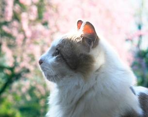 猫の横顔と桜の花の写真素材 [FYI02997566]