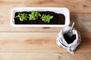 プランターに植えられたバジルと土の袋の写真素材 [FYI02998347]