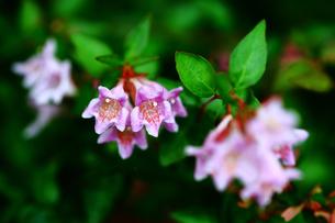 ベニバナツクバネウツギの花の写真素材 [FYI02998535]
