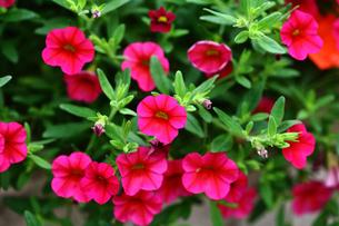 赤いペチュニアの花の写真素材 [FYI02998540]