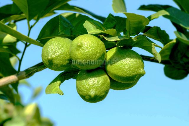 レモンの写真素材 [FYI02998545]