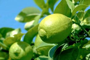 レモンの写真素材 [FYI02998549]