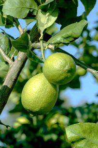 レモンの写真素材 [FYI02998560]