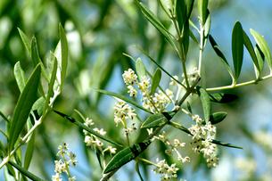 オリーブの花の写真素材 [FYI02998576]