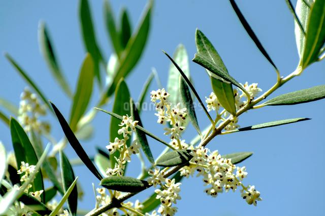 オリーブの花の写真素材 [FYI02998583]