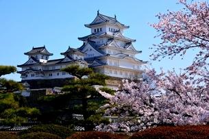 満開の桜,西の丸庭園から姫路城大天守閣の写真素材 [FYI02998877]