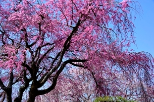 満開の桜,西の丸庭園の枝垂れ桜の写真素材 [FYI02998881]