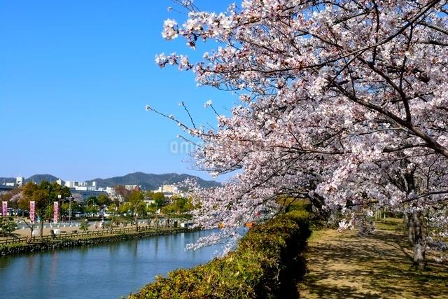 満開の桜,姫路城外濠から街並みの写真素材 [FYI02998884]