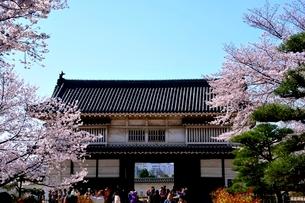 満開の桜,姫路城菱の門の写真素材 [FYI02998889]