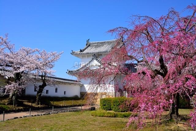 満開の桜,西の丸庭園百間廊下入口の写真素材 [FYI02998896]