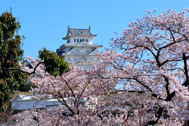 満開の桜,姫路城大天守閣の写真素材 [FYI02998904]