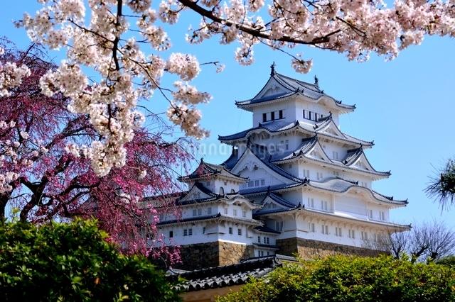 満開の桜,西の丸庭園から姫路城大天守閣の写真素材 [FYI02998911]