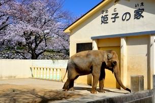 満開の桜,姫路城動物園の象の写真素材 [FYI02998932]