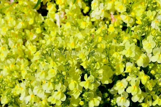 菜の花のアップの写真素材 [FYI02998947]