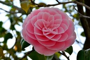 八重ツバキの花の写真素材 [FYI02998948]