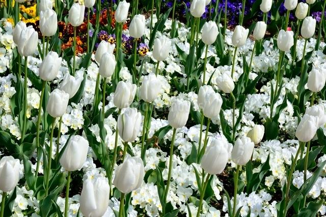 花壇,チュ-リップの写真素材 [FYI02998950]