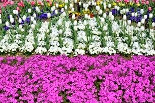 花壇,芝桜とチュ-リップの写真素材 [FYI02998951]