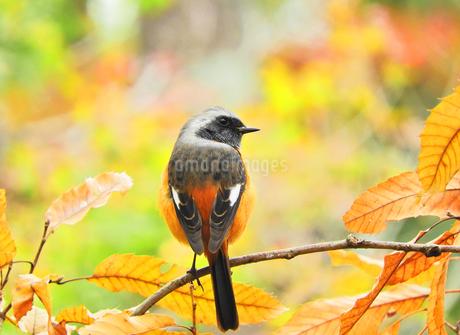 紅葉と野鳥の写真素材 [FYI02999494]