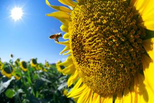 ヒマワリの花と太陽とハチの写真素材 [FYI02999574]