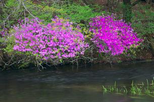 新緑とトウゴクミツバツツジ 湯ノ湖の写真素材 [FYI02999599]