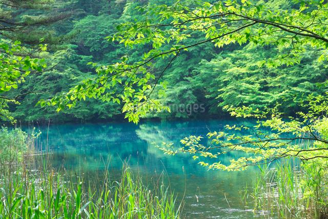 新緑の五色沼 毘沙門沼の写真素材 [FYI02999603]