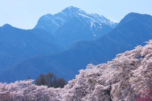 桜と甲斐駒ケ岳 真原桜並木の写真素材 [FYI02999616]