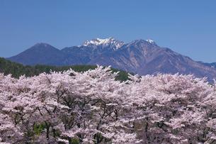 桜と八ヶ岳 真原桜並木の写真素材 [FYI02999617]