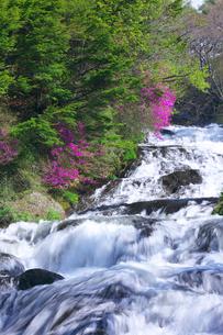 新緑とトウゴクミツバツツジ 竜頭ノ滝の写真素材 [FYI02999631]
