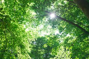ブナ林の新緑と太陽 美人林の写真素材 [FYI02999633]