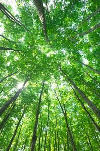 ブナ林の新緑の見上げと太陽 美人林の写真素材 [FYI02999636]
