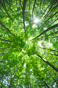 ブナ林の新緑の見上げと太陽 美人林の写真素材 [FYI02999670]