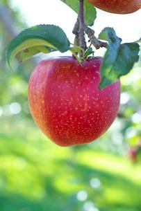 リンゴ 世界一の写真素材 [FYI02999691]