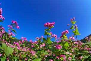 赤ソバの花と青空の写真素材 [FYI02999779]