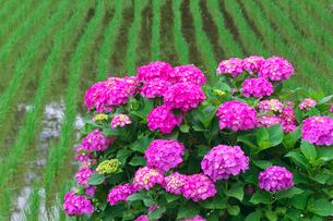 アジサイの花と田んぼの写真素材 [FYI02999780]