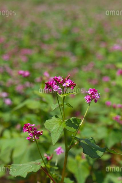 赤ソバの花の写真素材 [FYI02999825]