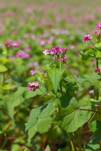 赤ソバの花の写真素材 [FYI02999826]