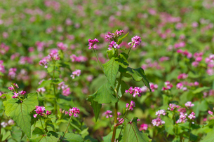赤ソバの花の写真素材 [FYI02999827]