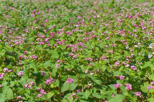 赤ソバの花畑の写真素材 [FYI02999829]